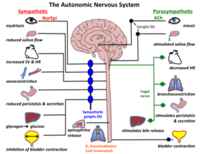 the autonomic nervous system and HRV